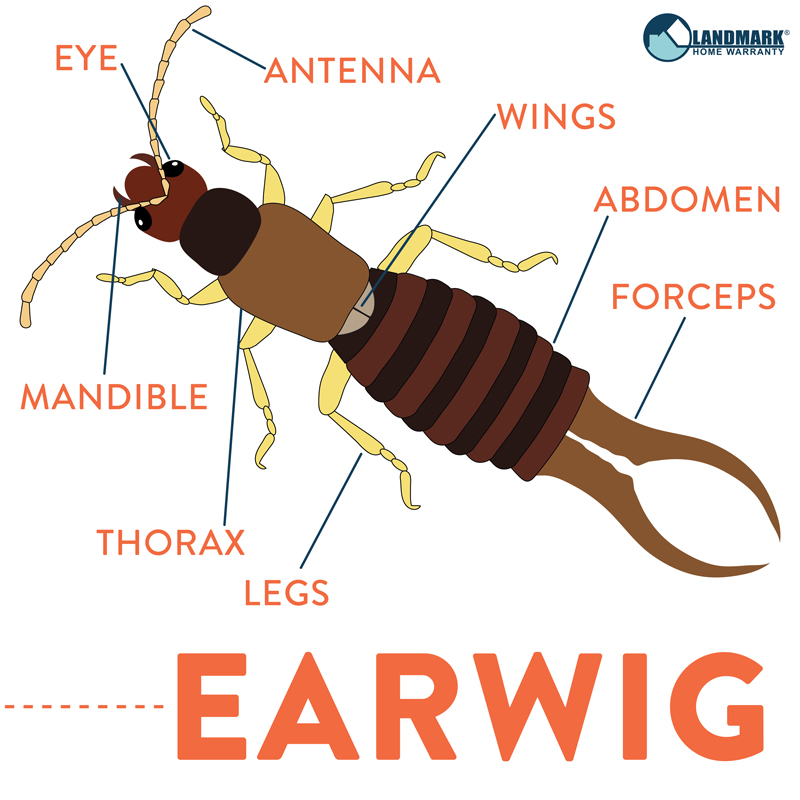 Strange All About Earwigs And How To Get Rid Of An Infestation Download Free Architecture Designs Rallybritishbridgeorg