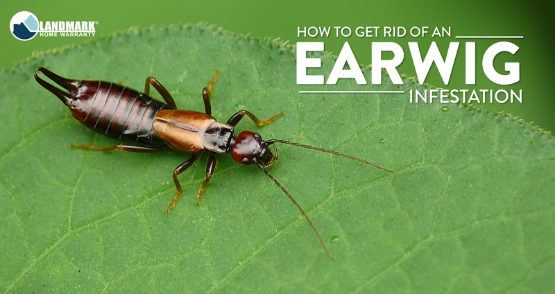All About Earwigs and How to Get Rid of an Infestation