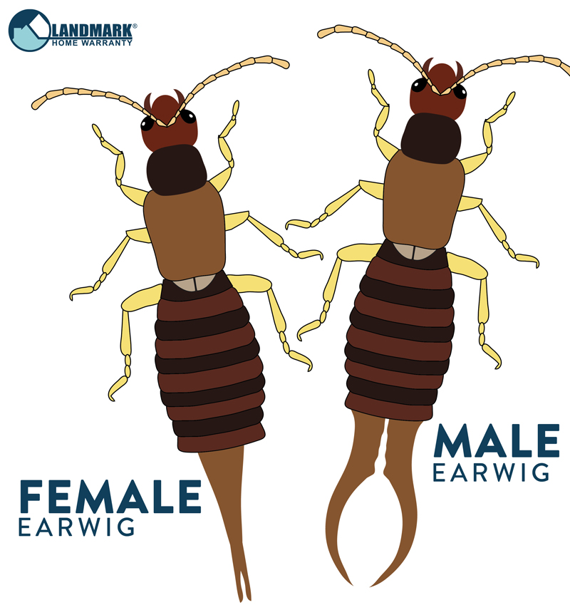 Miraculous All About Earwigs And How To Get Rid Of An Infestation Download Free Architecture Designs Rallybritishbridgeorg
